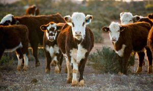 beef cattle stock image