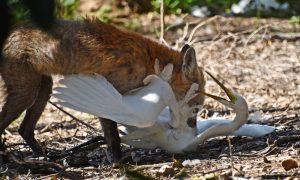 Invasive Animals CRC Feral Photo winner