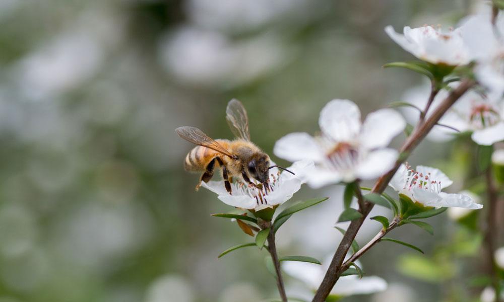 honey-bee-manuka-flower