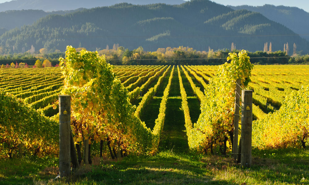 vineyard-malborough-nz-sout