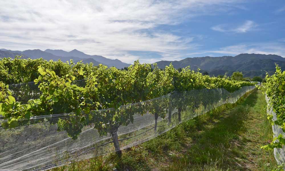 vineyard-south-island