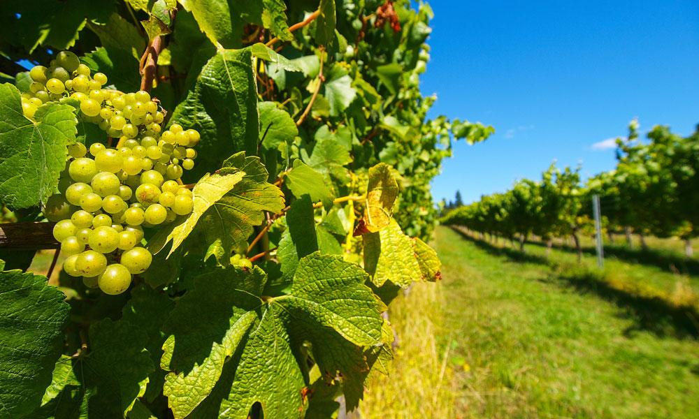 new-zealand-vineyard-(3)