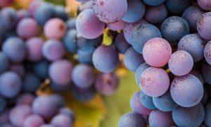 pinot-noir-wine-grapes-(2)