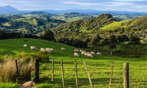 sheep-north-island-New-Zealand