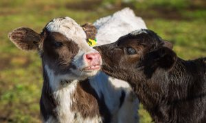calf-calves-cow