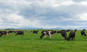 dairy-cows-new-zealand-(2)