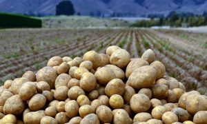 potato-field-north-island-N