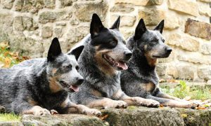 Cattle-dogs