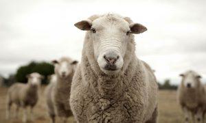 sheep-look
