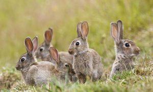 wild-rabbits-NZ