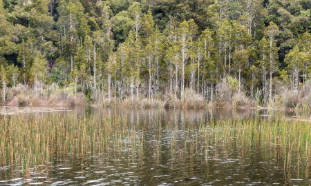 wetland with reeds and podocarp trees growing in New Zealand podocarp forest