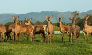 deer new zealand stock image