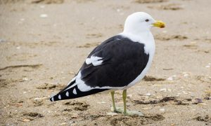 Southern-Black-backed-Gull