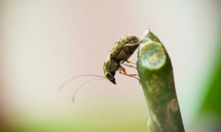pest pea weevil stock image
