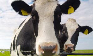 Dairy-cows stock image
