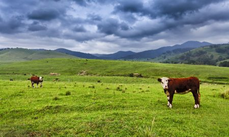 cattle farm land stock image