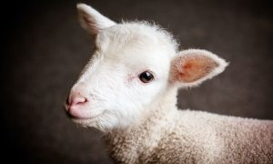lamb baby cute stock