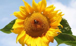 bee on sunflower stock image