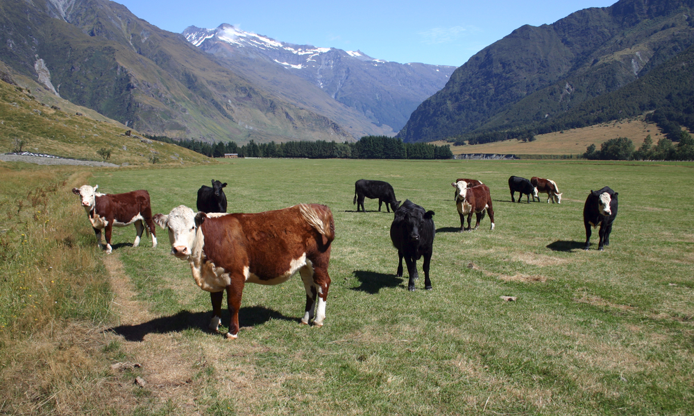 cattle new zealand stock image
