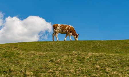 methane cow stock image