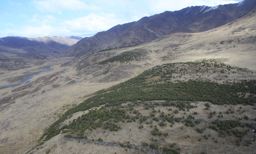 Wilding pines. An aerial shot shows wilding pine rapidly invading conservation land on Molesworth Station in Marlborough. Photo credit Ministry for Primary Industries PHOTO NZDF