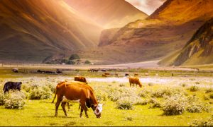 cattle livestock dairy new zealand stock image