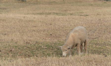 new zealand drought sheep stock image