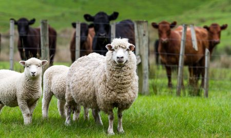 sheep cattle new zealand