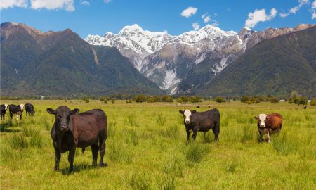 cattle-south-island-NZ-(2) stock image