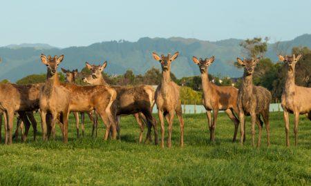 deer new zealand stock image