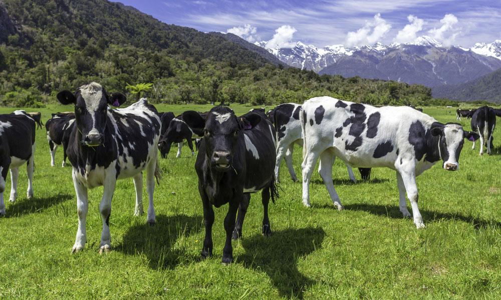 dairy cows nz stock image