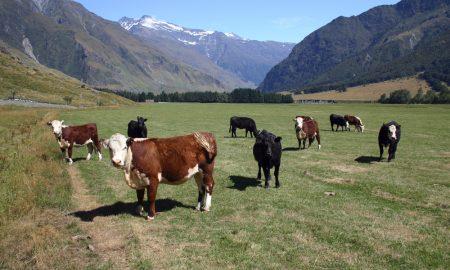 cattle new zealand stock image