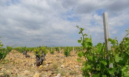 Winemakers could adapt to climate change by switching grape varieties