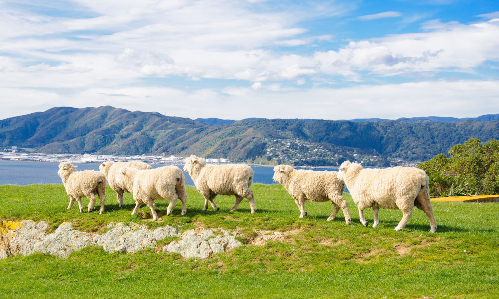 NZ-sheep