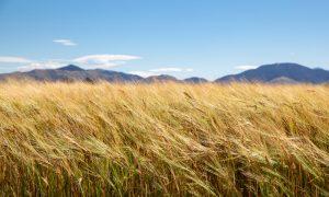 2020 harvest yields
