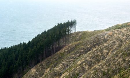 wilding pine